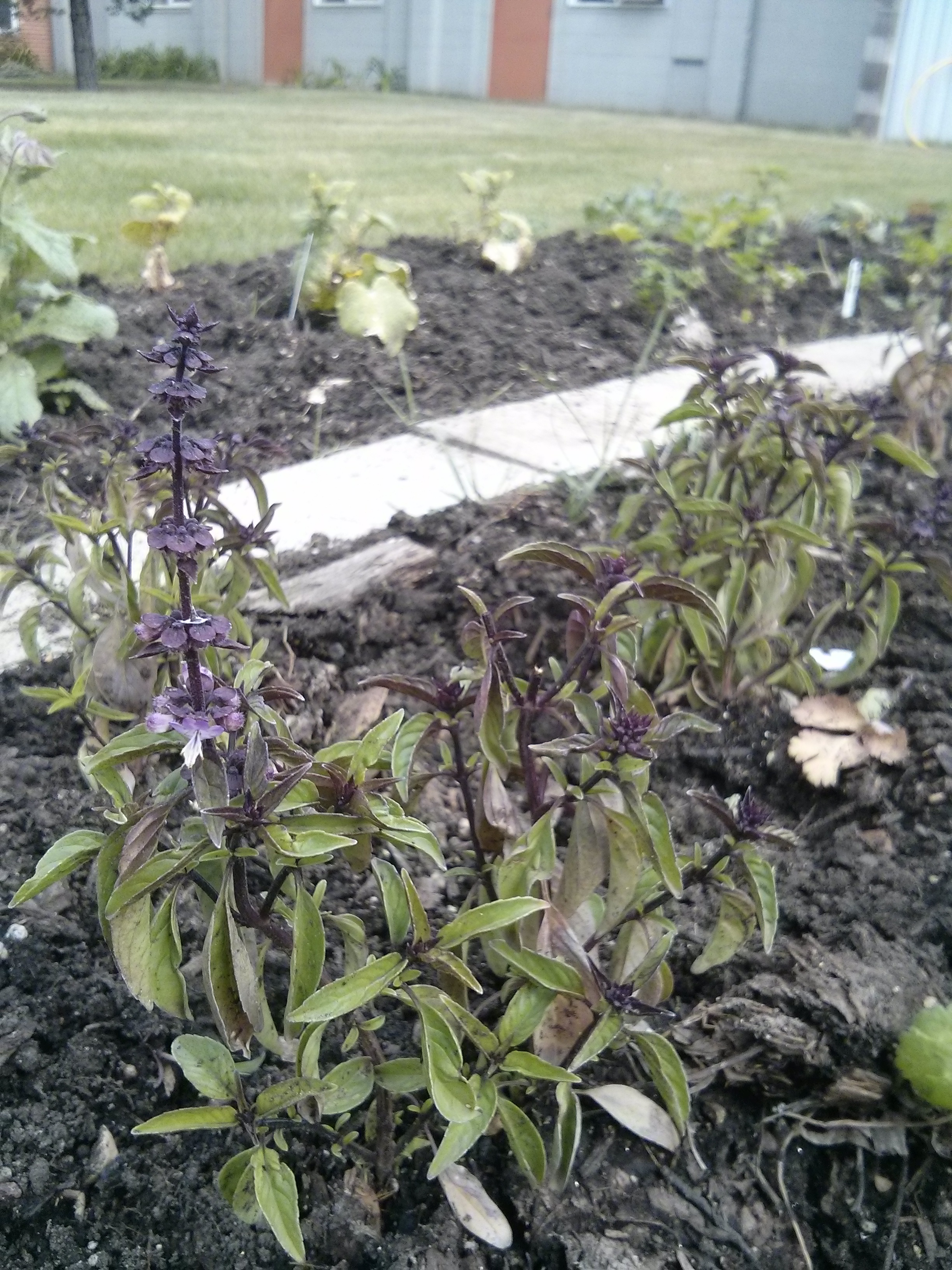 Thai basil growing at the USB Community Garden